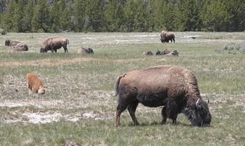 Where the Buffalo (and the Volunteers) Roam