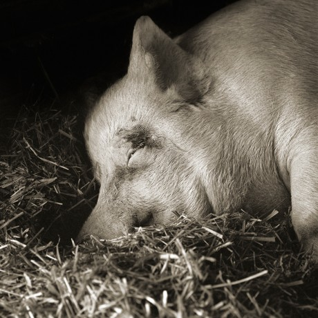 Teresa, Yorkshire Pig, Age 13 -- by Isa Leshko