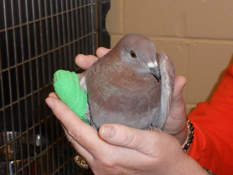 A glorious pigeon -- rescued because of SHARK's efforts.