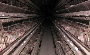 Scrambled Priorities: Will the King Amendment End Farmed Animal Reform?