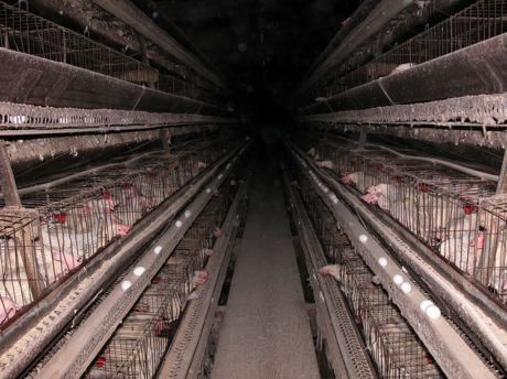 Battery cages as documented by Compassion Over Killing