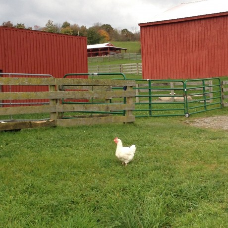 A rescued chicken at Farm Sanctuary
