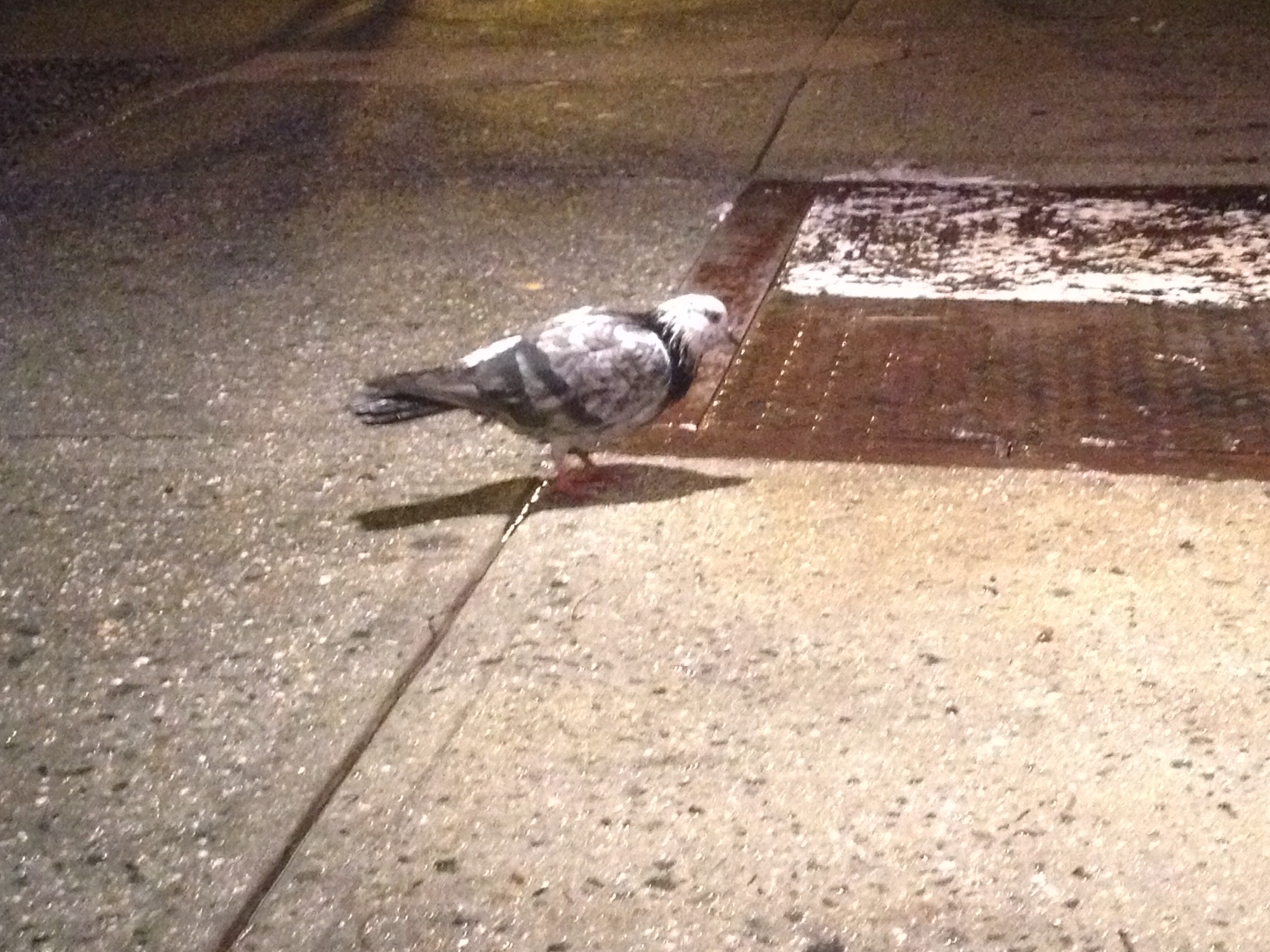 This Pigeon Lit Up the Night