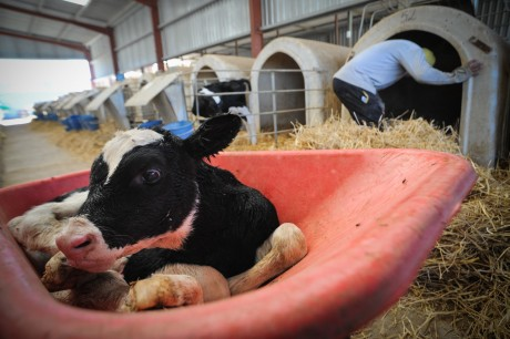 Wet from birth, a calf is removed from her mother and put in a veal crate.