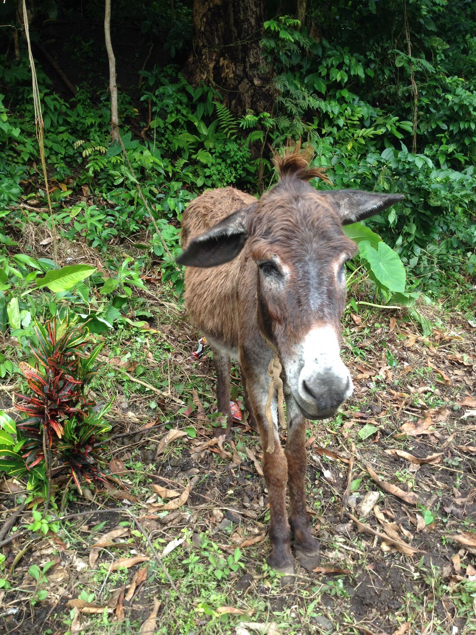 Grenada donkey