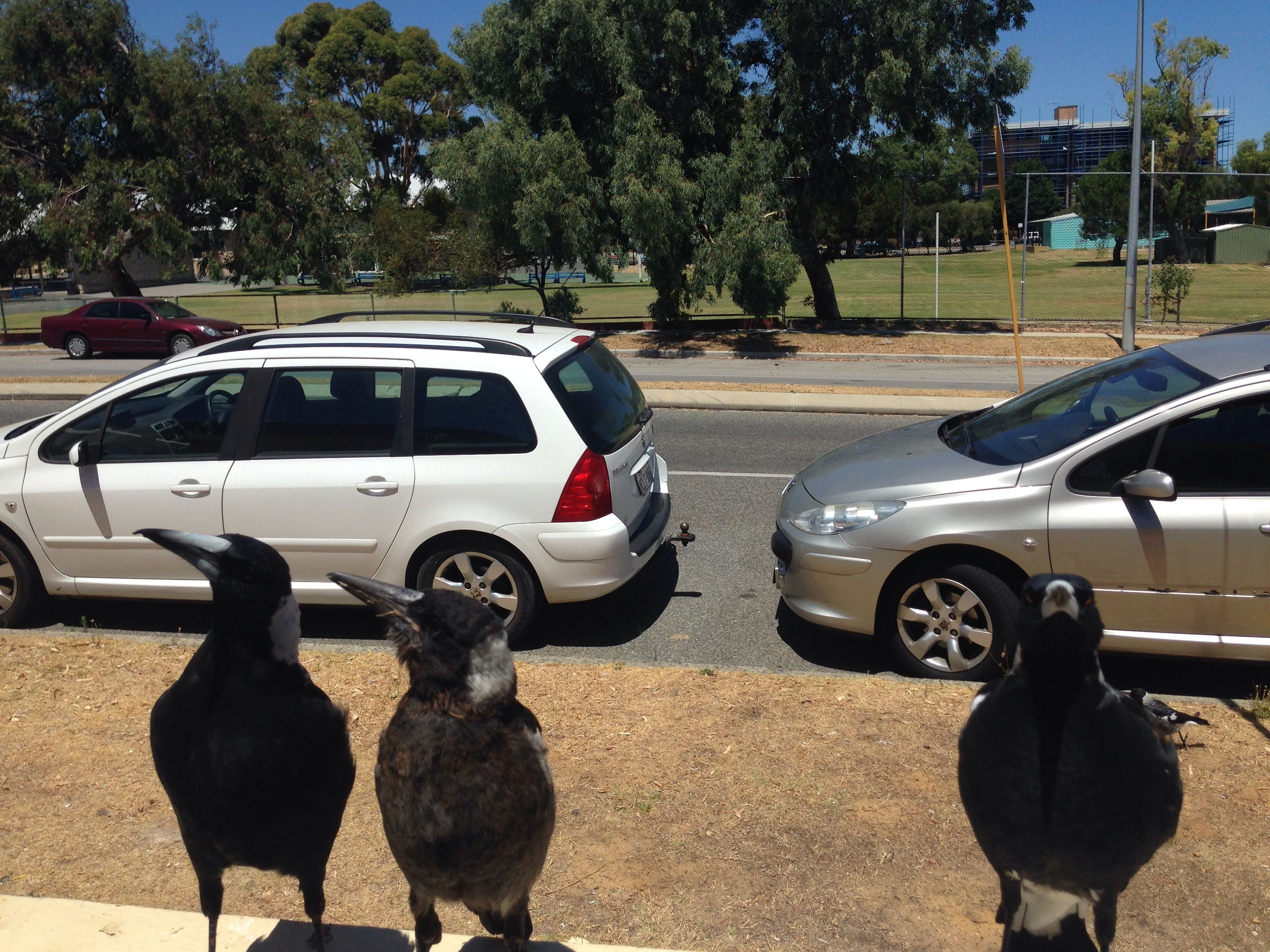 Friendly magpies
