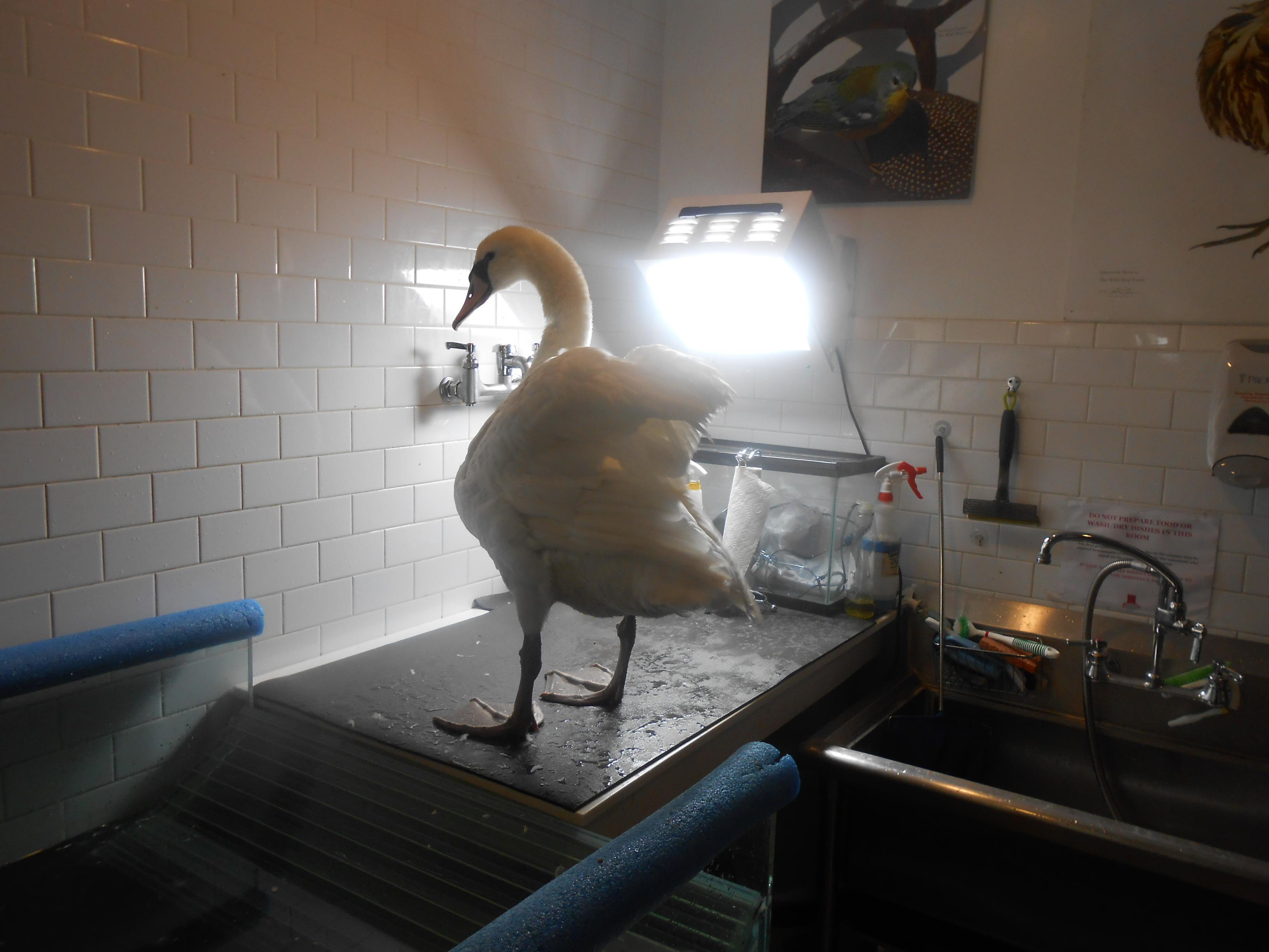 Vanessa the Swan at the Wild Bird Fund