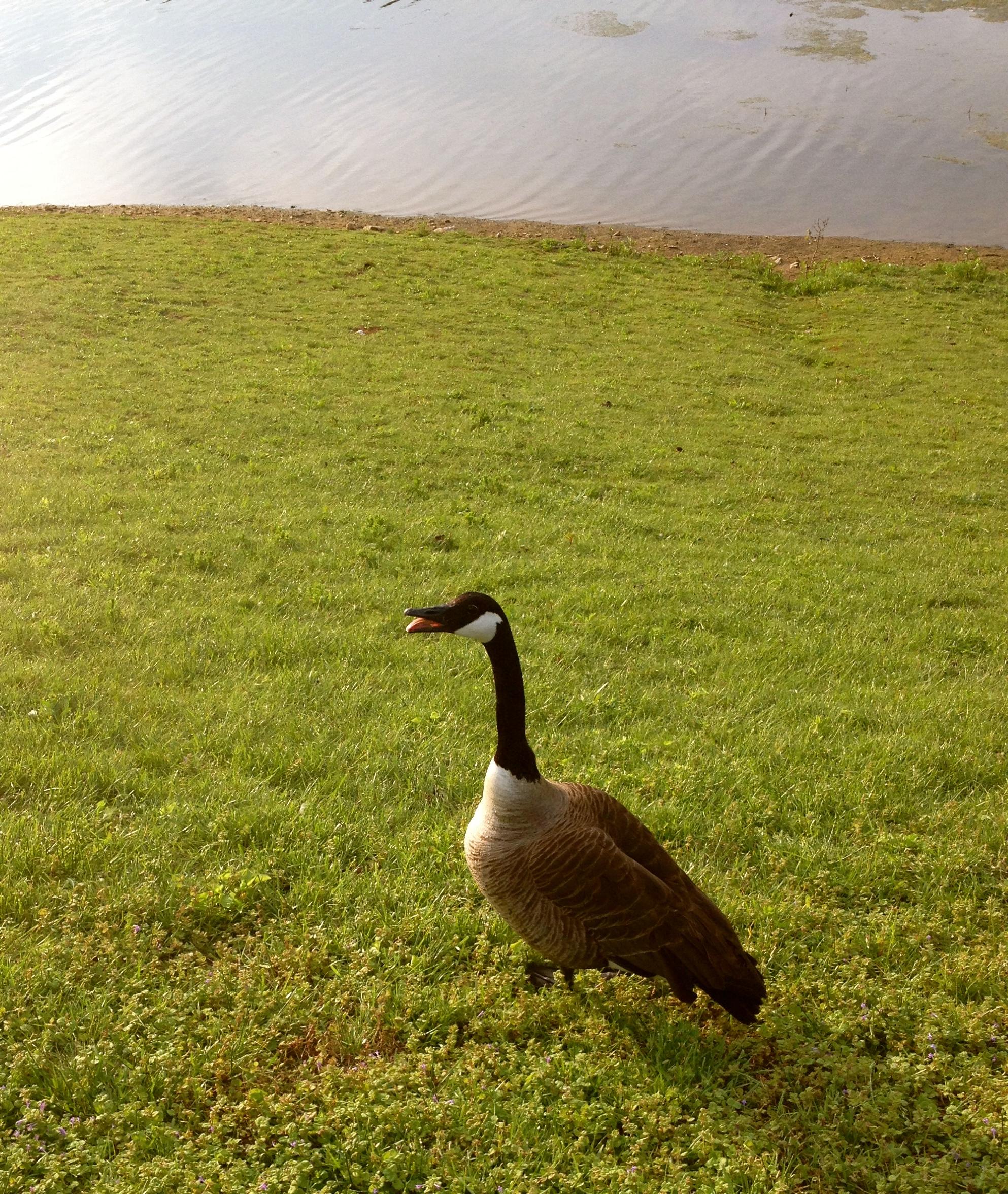 Canadian Goose Mama