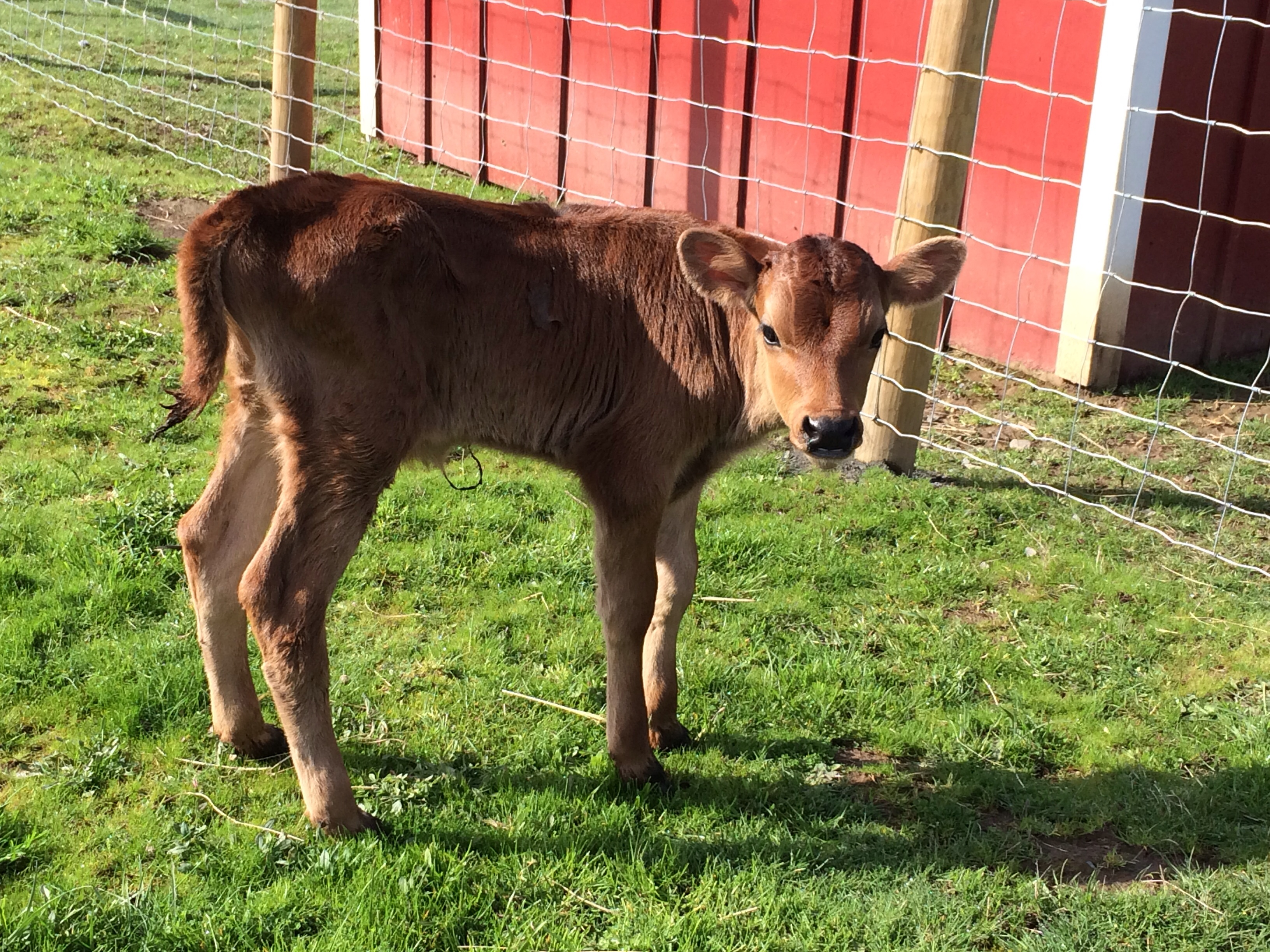 Hershey the rescued calf