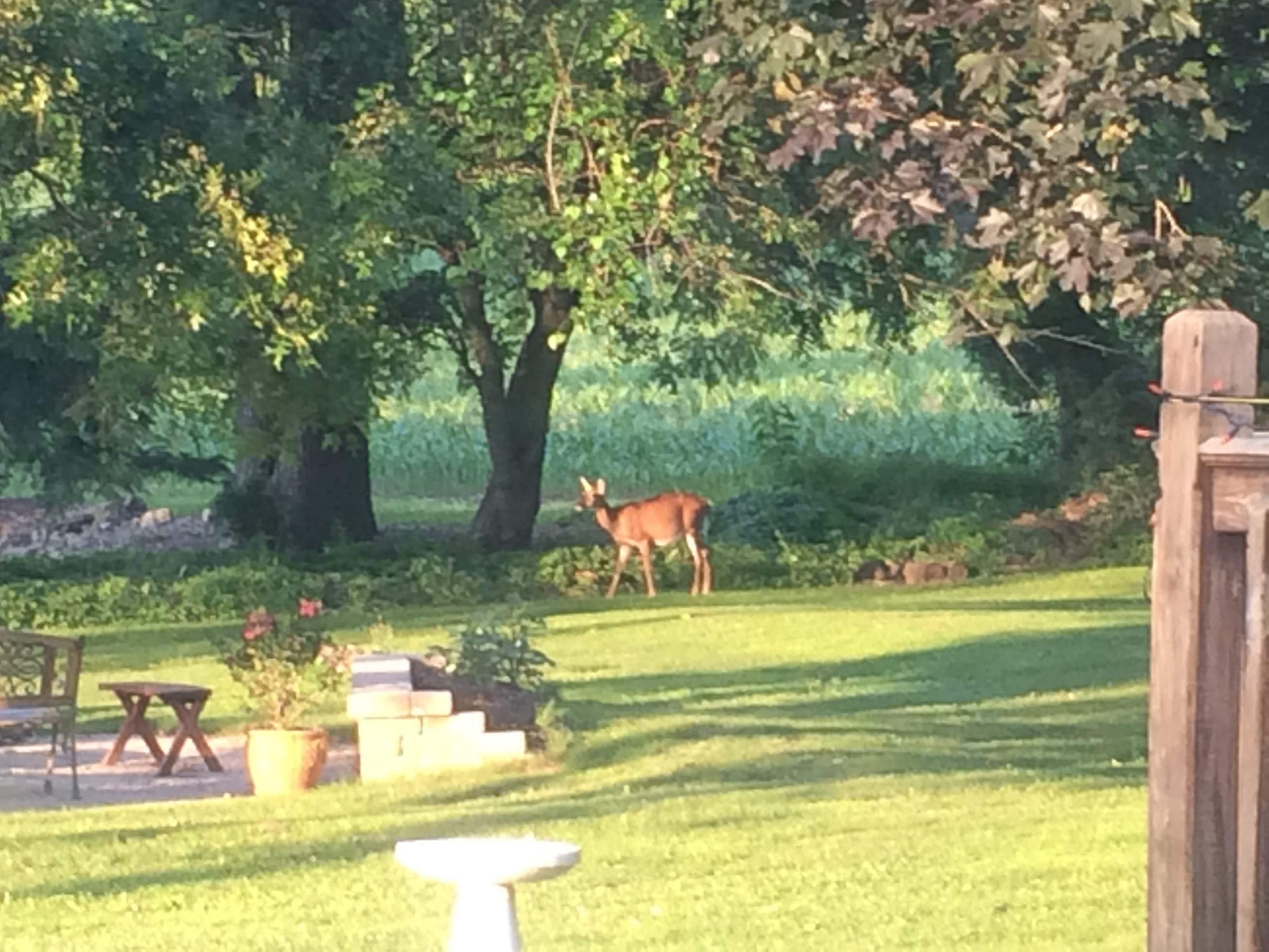 Backyard doe