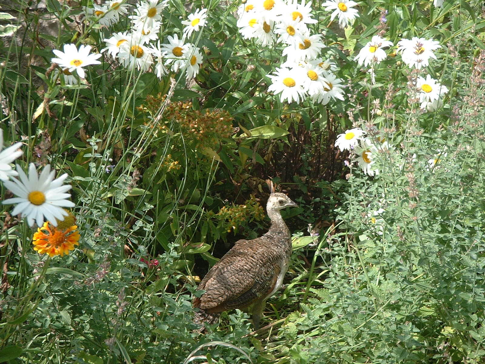 Baby peahen