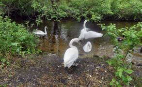 Vanessa the Young Female Swan – Update