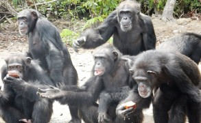 New York Blood Center Abandons Chimpanzee Colony in Liberia
