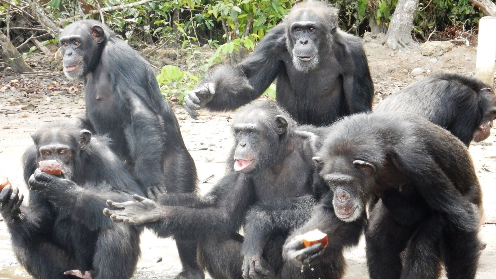 Image result for group of chimps