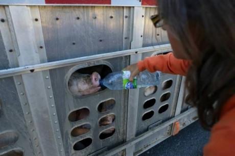 pigs-e1445440551493